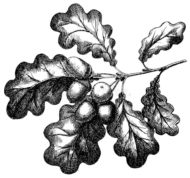 Vector geïsoleerde gravureillustratie van hand getrokken eikel op eiken tak royalty-vrije illustratie