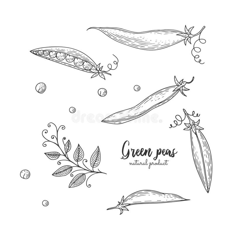Vector gegraveerde illustratie van groene erwten Econatuurvoeding Vegetarisch voedsel voor ontwerpmenu, recepten, verpakkend docu stock illustratie