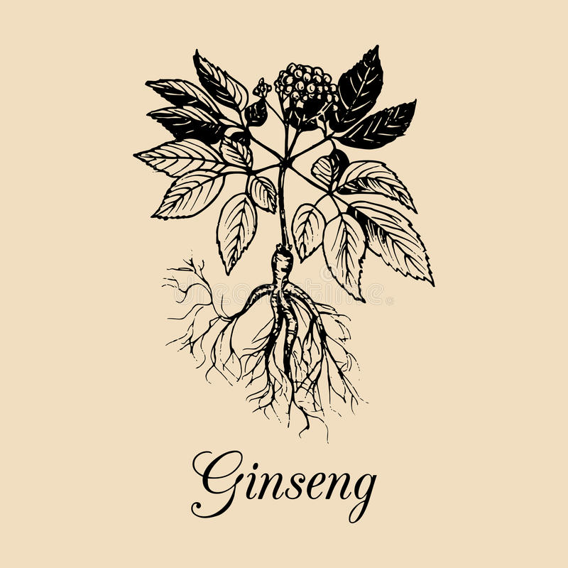Vector Ginseng root, leaves and flower illustration.Hand drawn sketch of medicinal plant.Officinalis,cosmetic herb logo. Vector Ginseng root, leaves and flower vector illustration