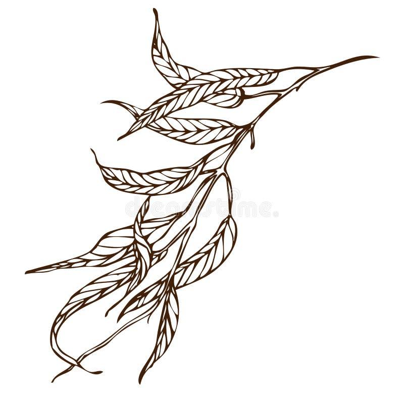 Vector hand drawing eucalyptus branch vector illustration