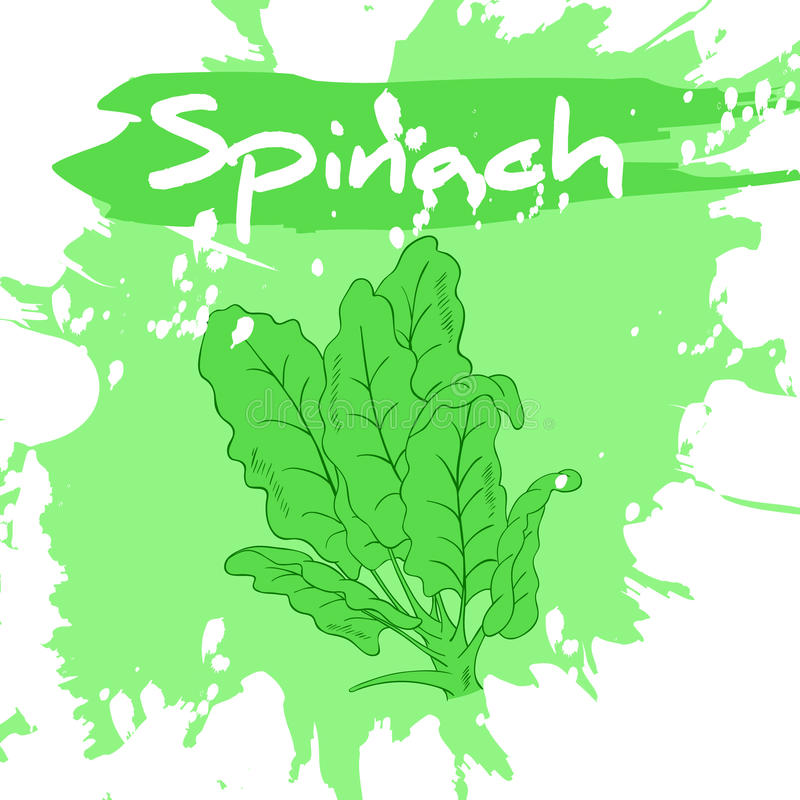 Vector hand drawing illustration of vegetable with label and artistic watercolor splash and brush marks. Spinach stock illustration