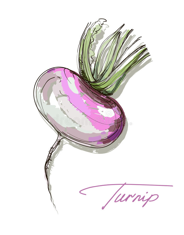 Vector hand drawing realistic juicy turnip. Vector hand drawing realistic juicy ripe turnip royalty free illustration