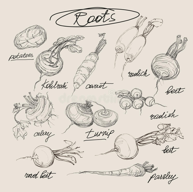 Vector hand drawing set of roots. On a black background and bright royalty free illustration