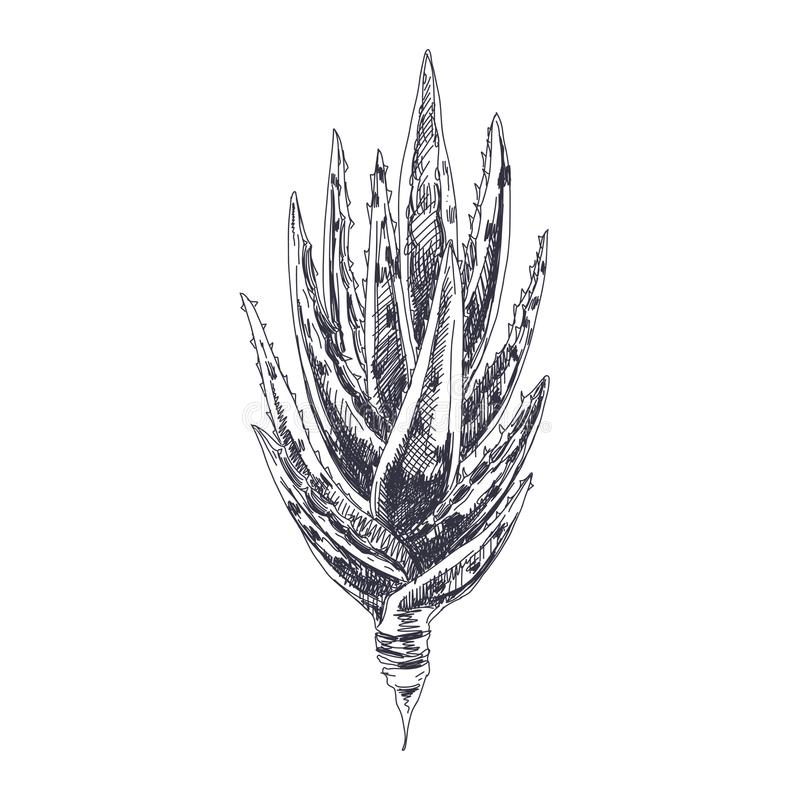 Vector hand drawn Aloe Vera Illustration royalty free illustration