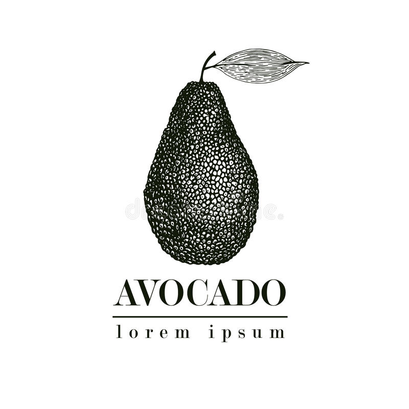Vector hand drawn avocado. Tropical summer fruit retro style illustration. Detailed food drawing. Great for label royalty free illustration