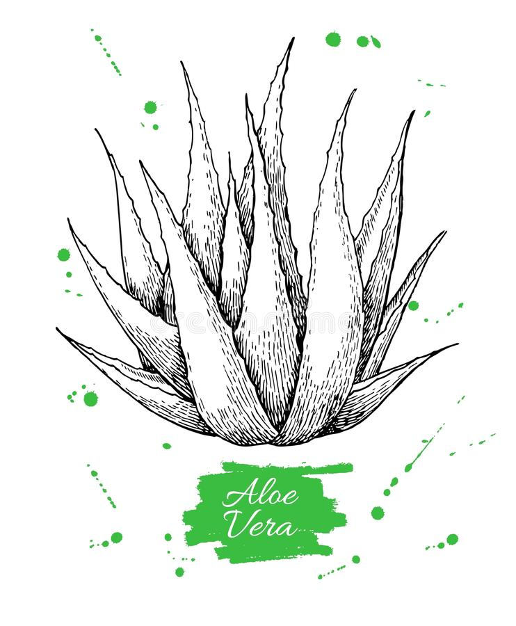 Vector hand drawn botanical Aloe Vera. Engraved illustration royalty free illustration