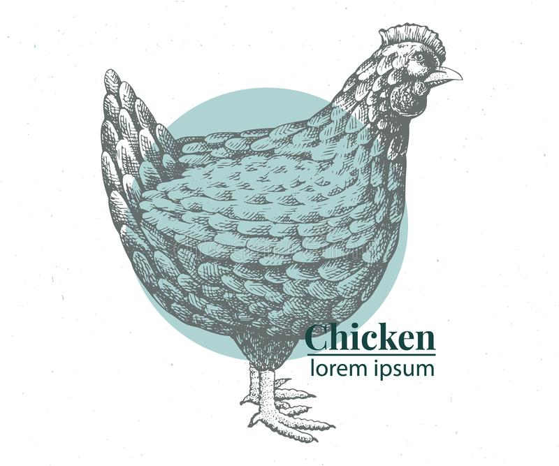 Vector hand drawn chicken illustration. Retro engraving style. Sketch farm animal drawing. Hen logo template. Vector hand drawn chicken illustration. Vintage stock illustration