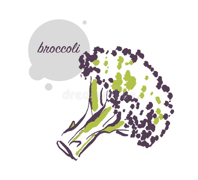 Vector hand drawn illustration of fresh raw broccoli vegetable isolated on white background. royalty free illustration