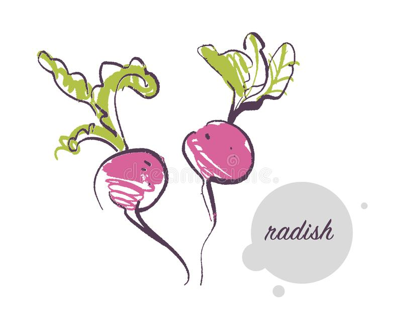 Vector hand drawn illustration of fresh raw radish vegetable isolated on white background. stock illustration