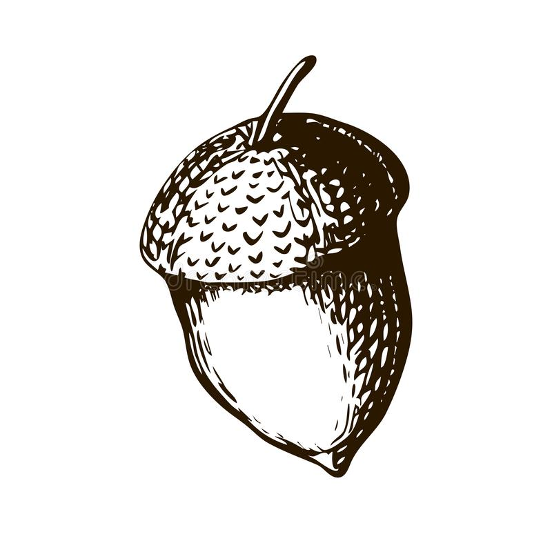 Vector Hand Drawn Illustration - Single Acorn. Vector vintage engraved illustration of acorn. acorn on white background in vintage vector illustration