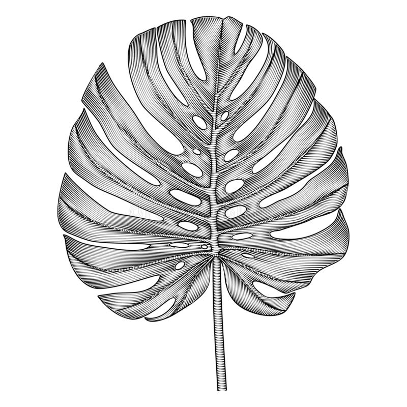 Vector, hand-drawn image of Monstera leaf. royalty free stock photography