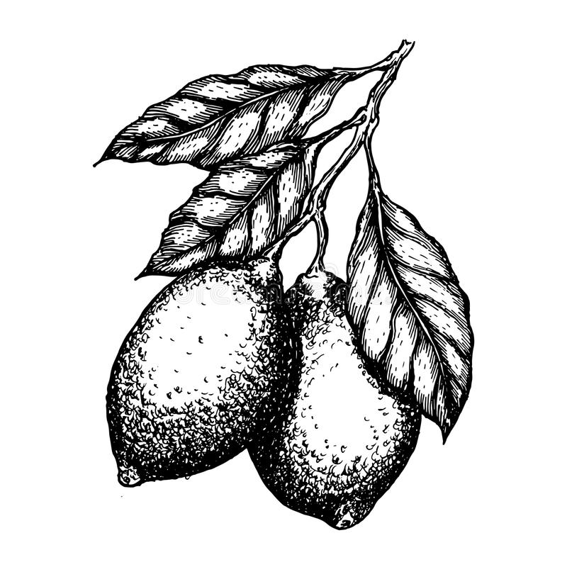 Vector hand drawn lemon or lime fruit leafs on branch. Fruit engraved style illustration. stock illustration