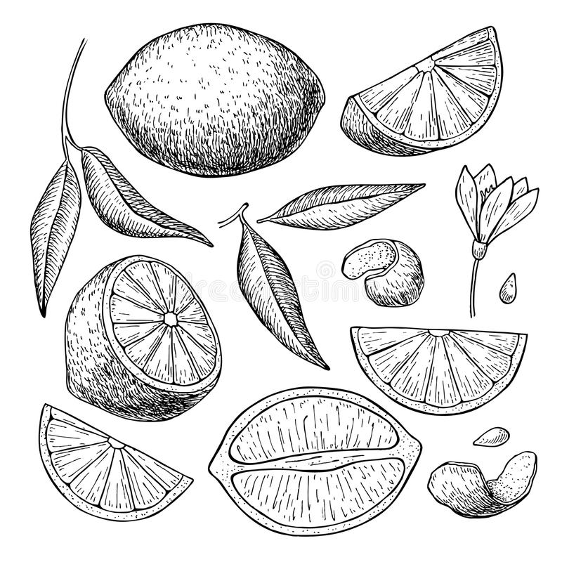 Vector hand drawn lime or lemon set. Whole lemon, sliced pieces, stock illustration