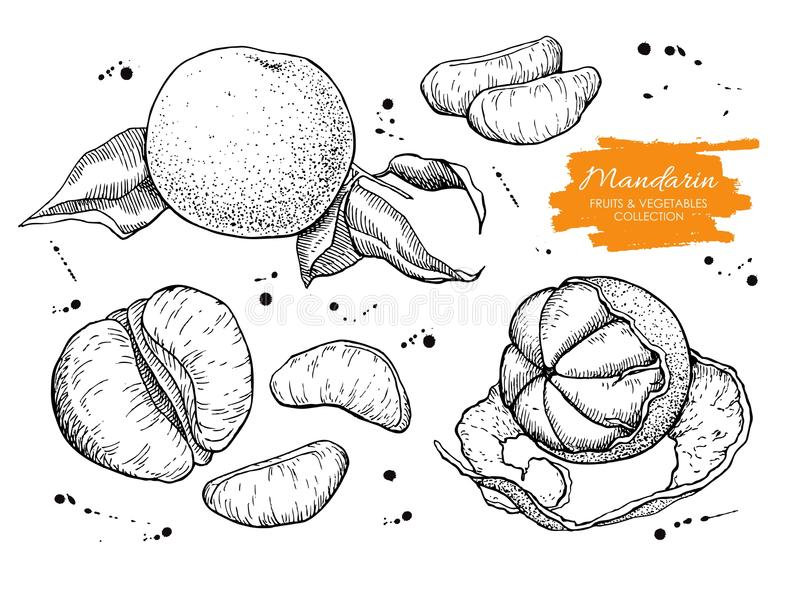 Vector hand drawn mandarin set. Engraved collection.  stock illustration