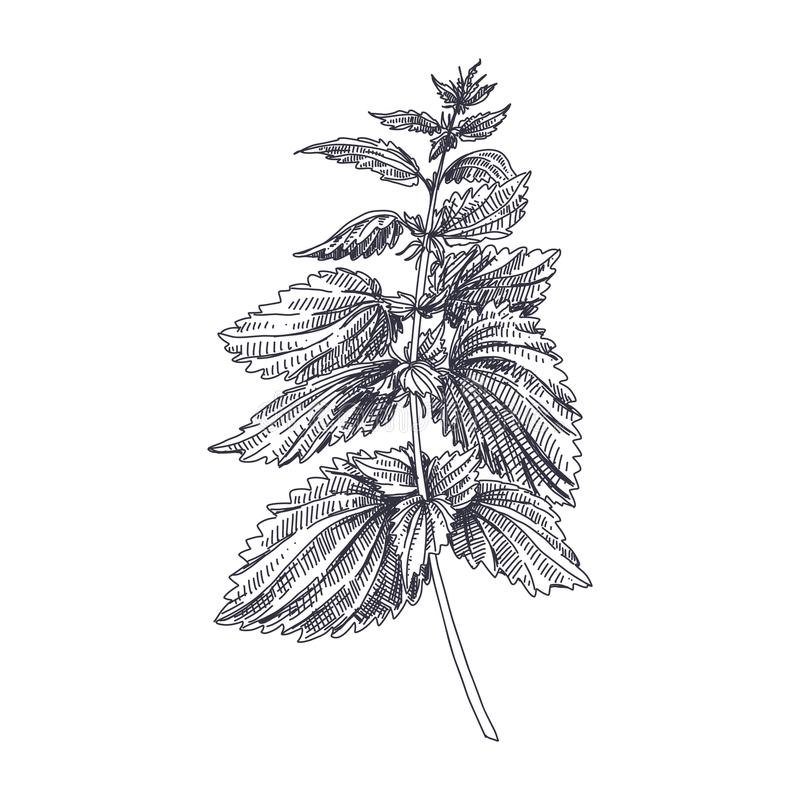 Vector hand drawn Nettles medical herb Illustration. Beautiful vector hand drawn Nettles medical herb Illustration. Detailed retro style image. Vintage sketch stock illustration