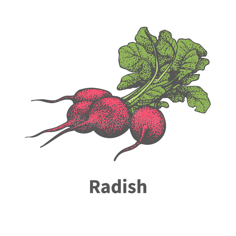 Vector hand-drawn ripe red radish with green tops. Vector illustration doodle sketch hand-drawn ripe red radish with green tops. on white background. The concept stock illustration