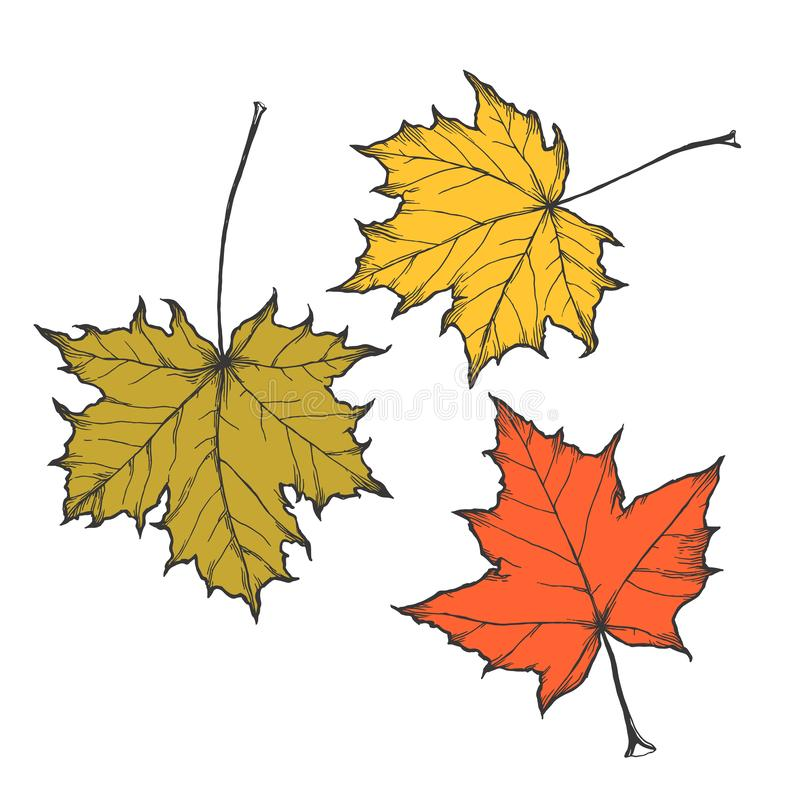 Vector hand drawn set of autumn maple leaves isolated on white. Vector hand drawn set of autumn maple leaves vector illustration