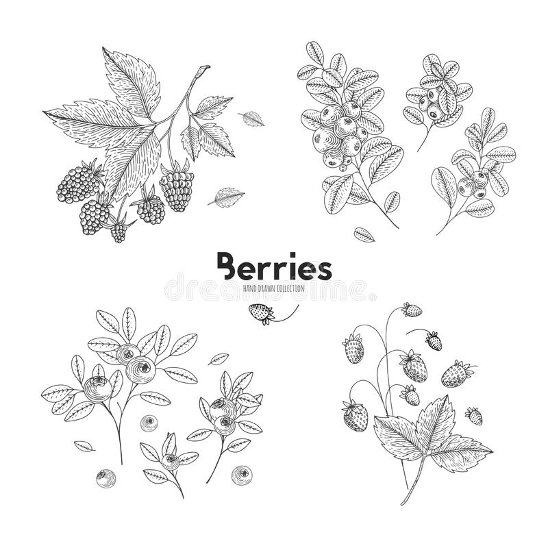 Vector hand drawn set of berries. Bluberry, raspberry, cranberry, wild strawberry. Engraved style vector illustration royalty free illustration