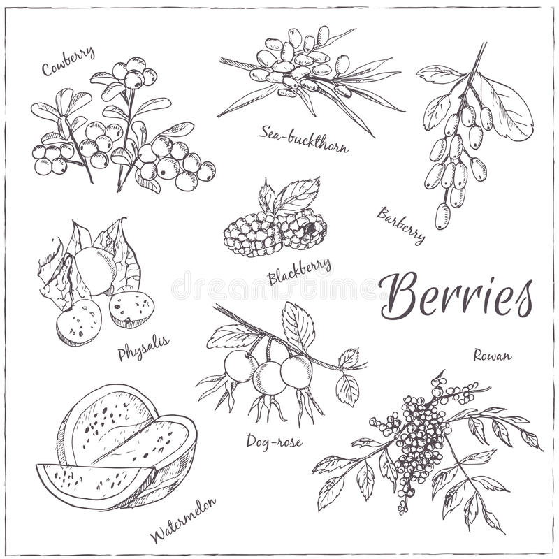 Vector hand drawn set with Berries. royalty free illustration