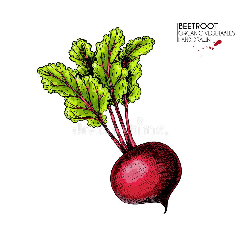 Vector hand drawn set of farm vegetables. Isolated beetroot with haulm. Engraved colored art. Organic sketched royalty free illustration