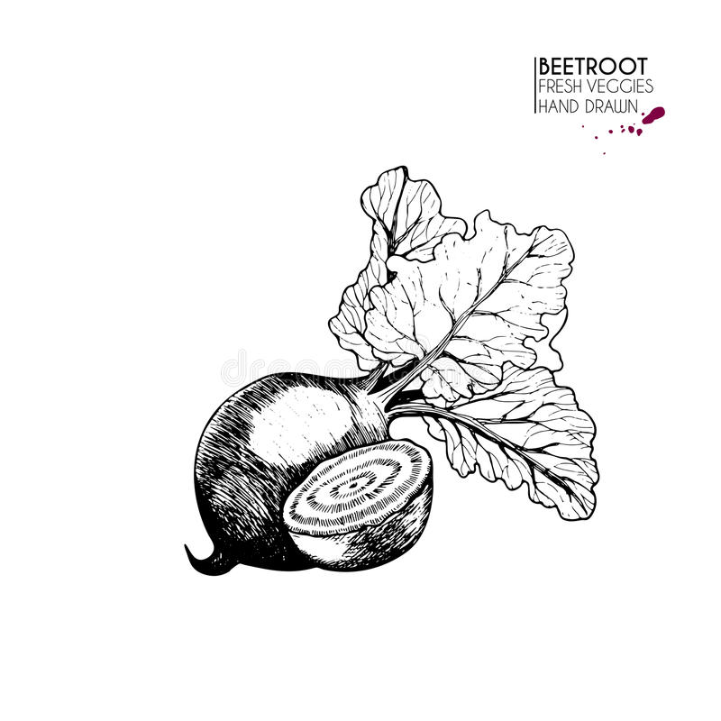 Vector hand drawn set of vegetables. Isolated beetroot. Farm harvest. Engraved art. Delicious vegetarian objects. Use for restaurant, menu, market, store royalty free illustration