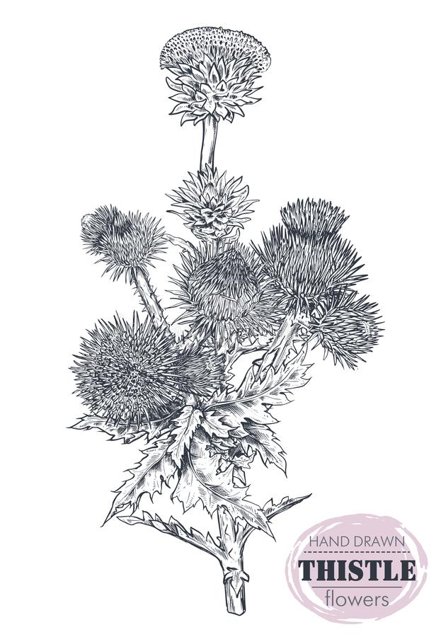 Vector hand drawn Thistle or Carduus plant, leaf, bud and flower isolated on white background. stock illustration