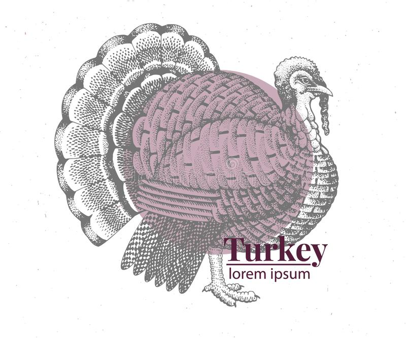 Vector hand drawn turkey illustration. Retro engraving style. Sketch farm animal drawing. Logo template. Vector hand drawn turkey illustration. Vintage stock illustration