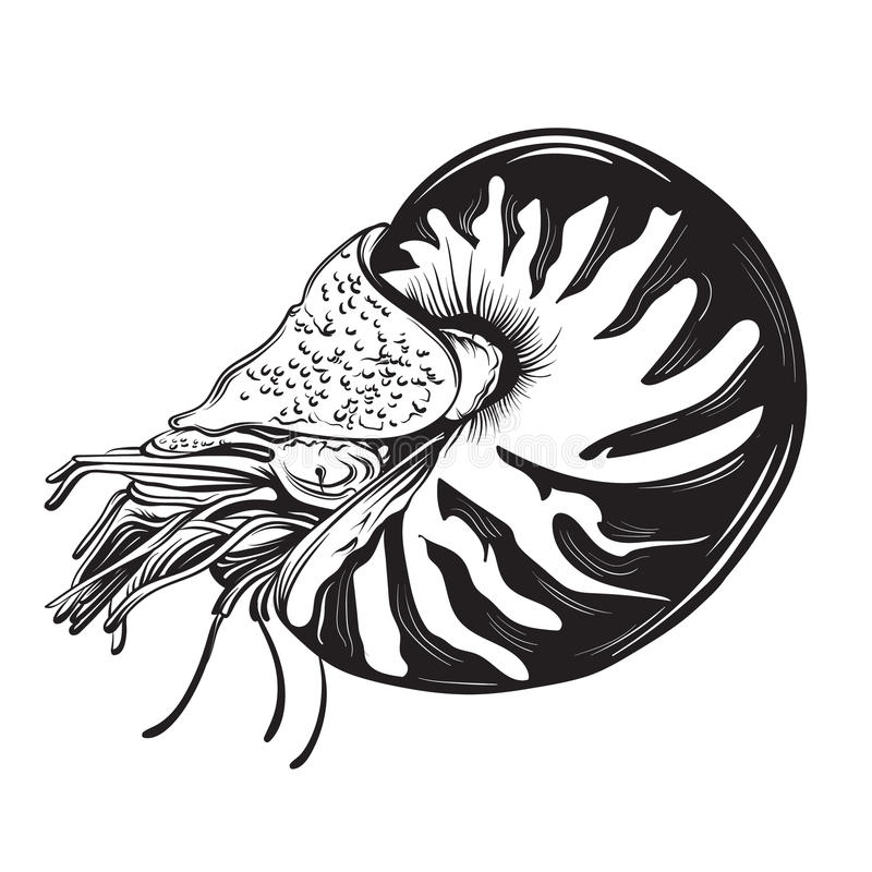 Vector Hand gezeichnete Illustration von Schalentiere Nautilus in der realistischen Art stock abbildung