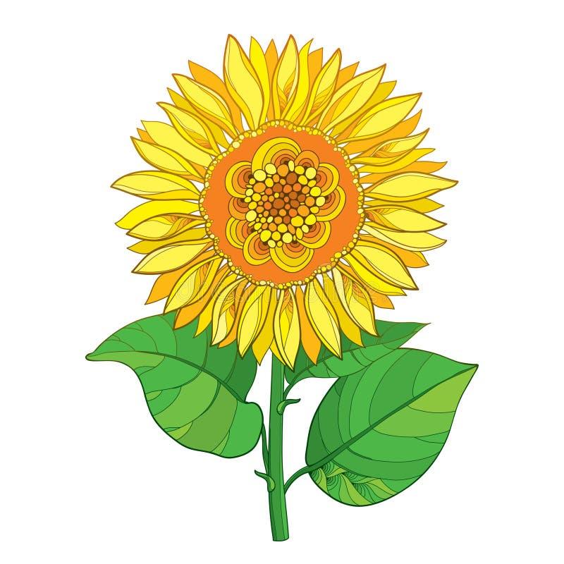 Vector a haste com a flor do girassol ou do Helianthus do amarelo do esboço e as folhas do verde isoladas no fundo branco Element ilustração do vetor