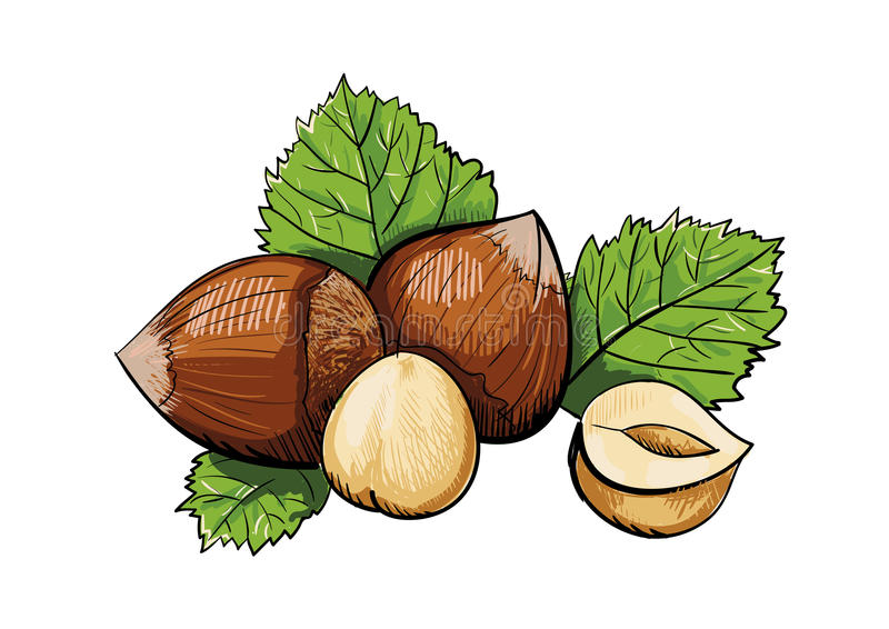 Vector hazelnuts clipart royalty free stock photography
