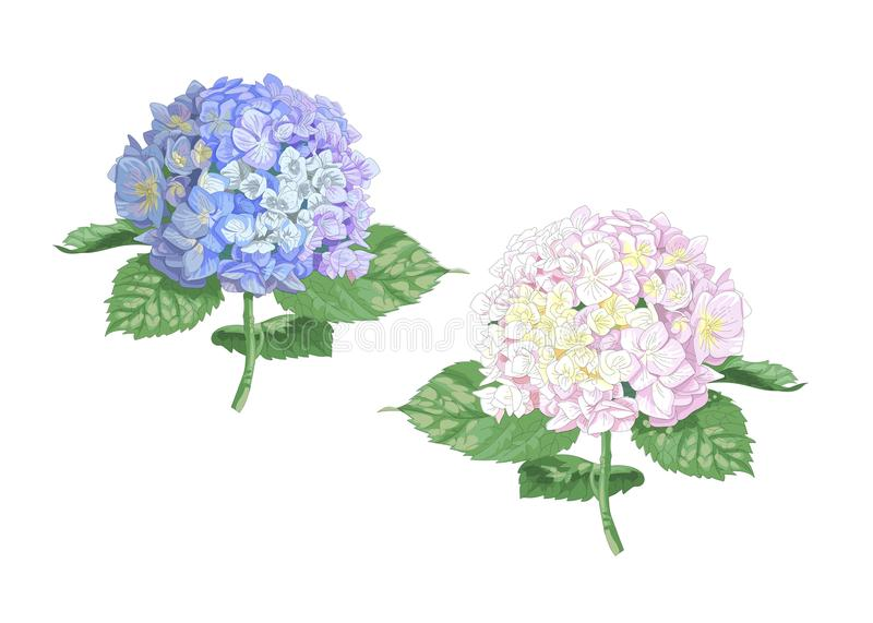 Vector highly detailed realistic illustration of two hydrangea flowers isolated on white. Good for wedding floral design, greeting stock illustration