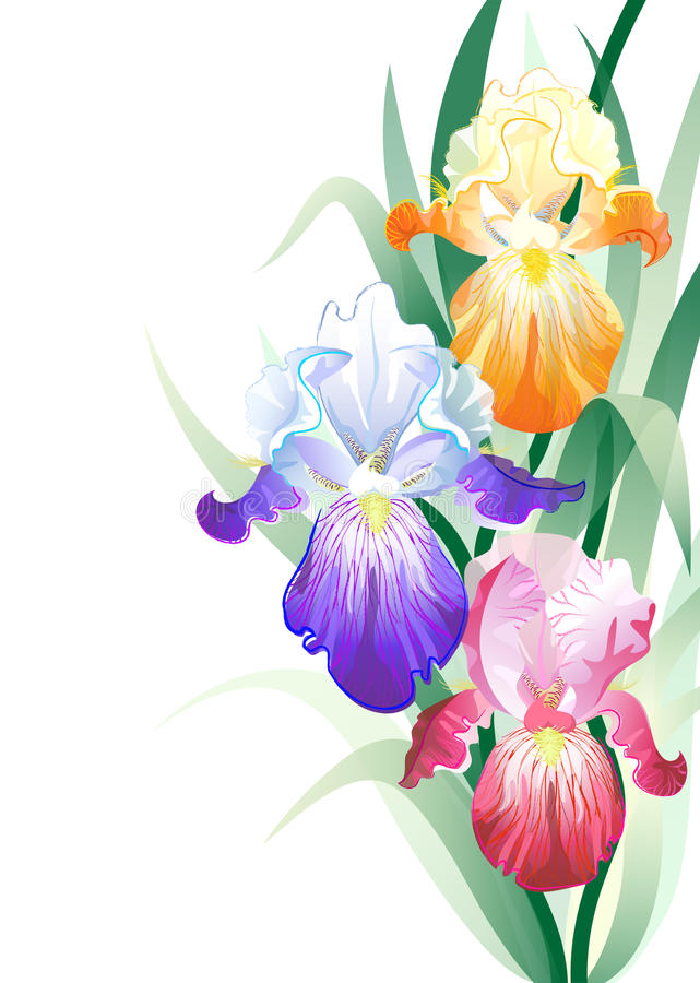 Vector Holidays Card With Iris Flowers Bouquet Royalty