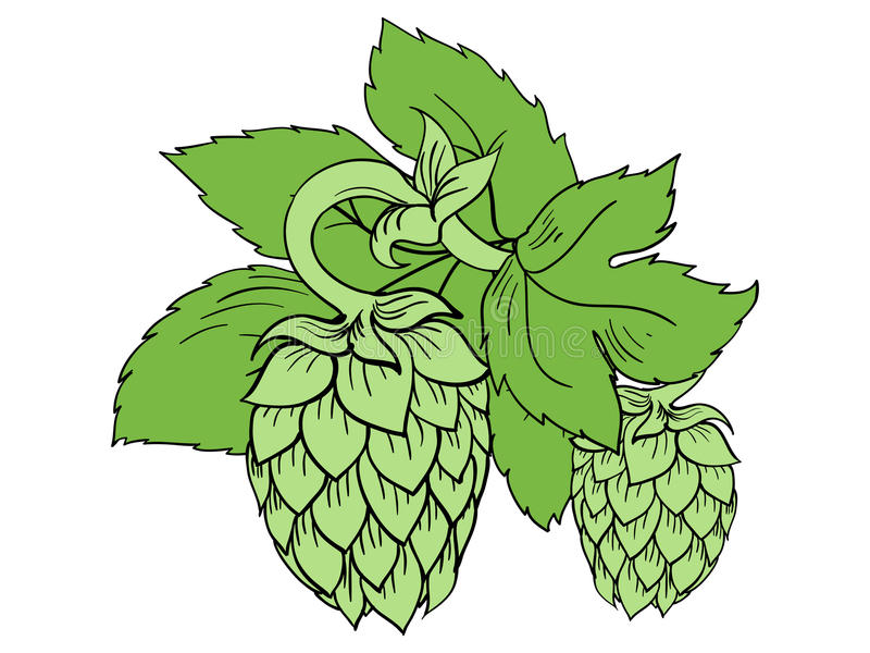 Vector hops. Colored illustration of hops vector illustration