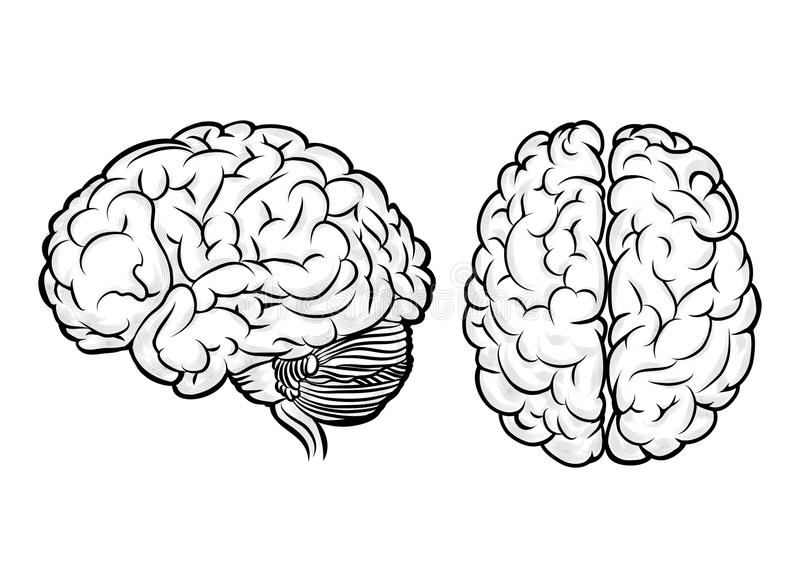 Vector human brain. Anatomy and science, medicine and head, intelligence and think royalty free illustration