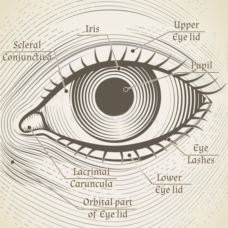 Vector human eye etching with captions. Cornea,. Iris and pupil. Name parts of the eye for books, encyclopedias royalty free illustration