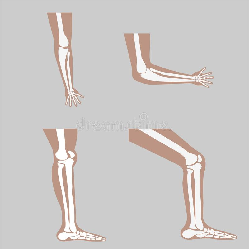 Vector human knee. And foot leg and hands arms in a bent and unbent view vector illustration