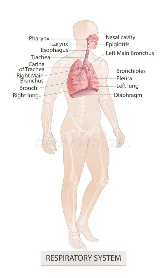 Respiratory System Vector of the human larynx nasal throttle anatomy. Hand drown sketch illustration. Vector of the human Respiratory System Lungs Inside larynx vector illustration