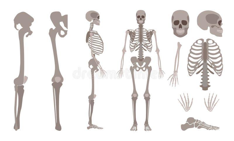 Vector human skeleton body bones and skull set. Vector human skeleton parts set. Human body bones, Scientific and anatomical mockup for education. Skull royalty free illustration