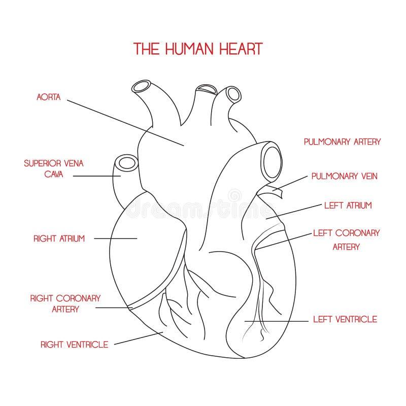 Vector Humano De La Anatomía Del Corazón Aislado En El Fondo Blanco ...