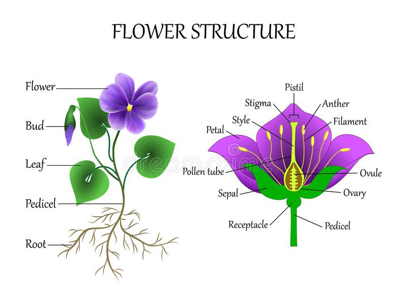 Vector il diagramma di istruzione della botanica e la biologia, la struttura del fiore in una sezione Schema di studio dell'inseg illustrazione di stock