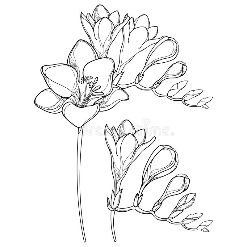 Vector il mazzo con il fiore di fresia del profilo ed il for Progetti di costruzione del mazzo