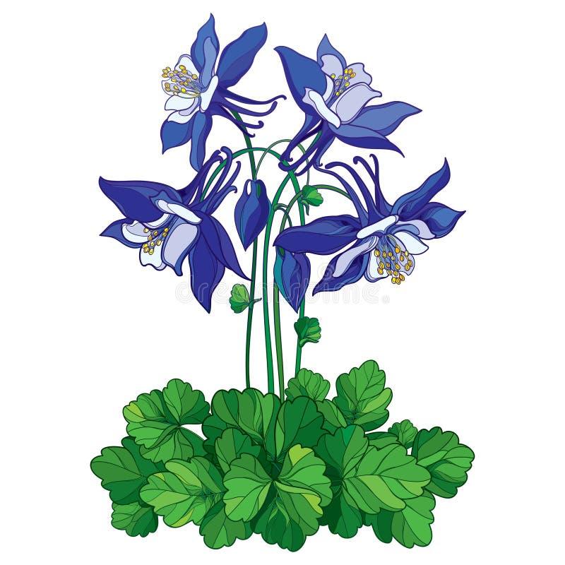 Vector il mazzo con il profilo fiore decorato di colombina o di Aquilegia in blu, germoglio e foglia verde isolati su fondo bianc illustrazione vettoriale
