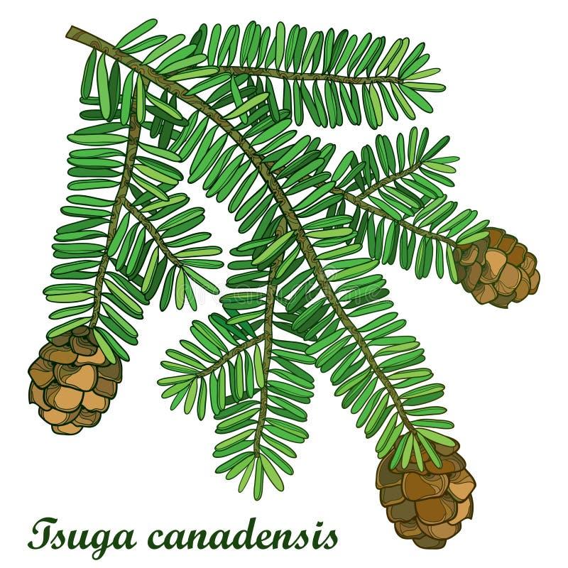 Vector il ramo con la tsuga del profilo o la cicuta canadese orientale isolata su fondo bianco Abete canadese conifero illustrazione di stock