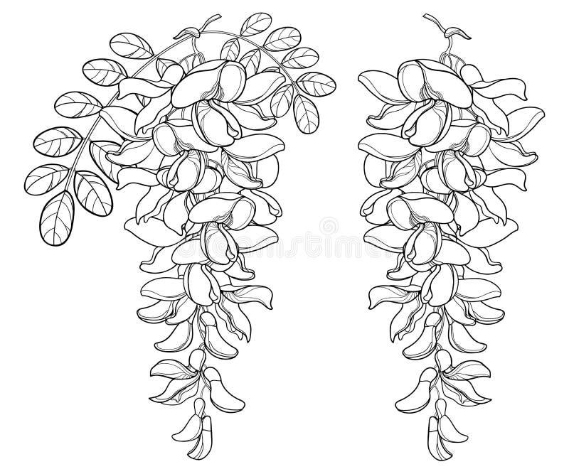 Vector il ramo del fiore dell'acacia falsa bianca del profilo o della locusta nera o di Robinia, del germoglio e delle foglie nel illustrazione vettoriale