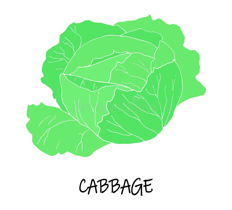 Vector illstration of cabbage. Green silhouette. royalty free illustration