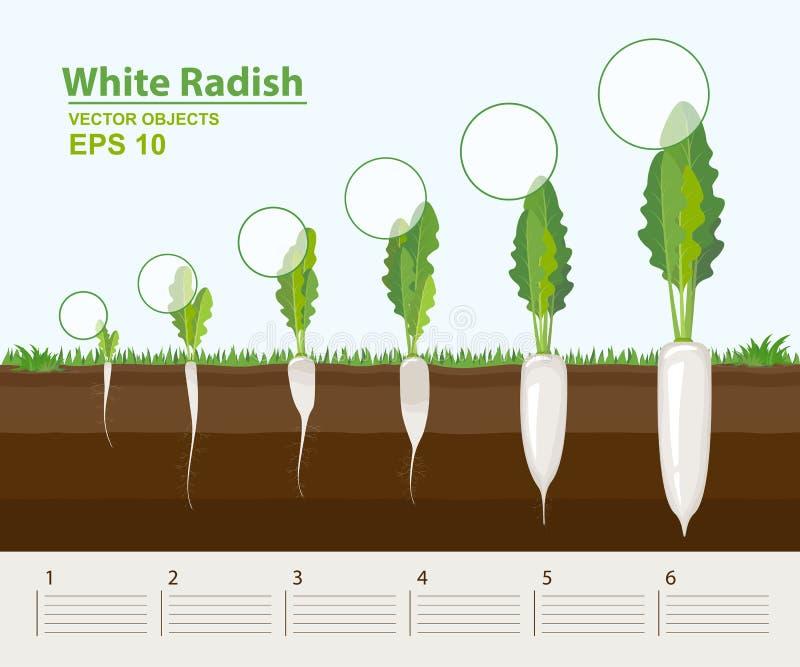 Vector illustratie Fasen van de groei van een witte radijs in de tuin De groei, ontwikkeling en productiviteit van witte radijs stock illustratie