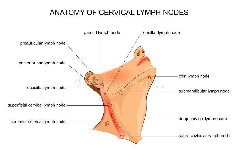 Anatomy of cervical lymph nodes. Vector illustration of anatomy of cervical lymph nodes royalty free illustration