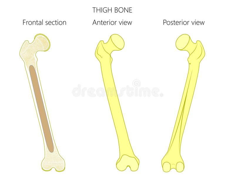 Anatomy_Thigh bone stock vector. Illustration of healthy - 102624833