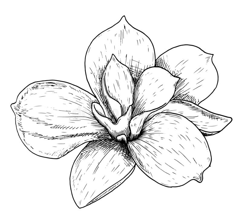 Vector Illustration of beautiful magnolia, drawing spring flower isolated on white background. Sketch hand drawn.  vector illustration