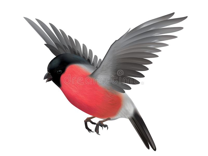 Flying Bullfinch detailed illustration stock images